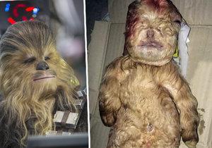 V Malajsii se narodil tvor, který vypadá jako Chewbacca ze Star Wars.