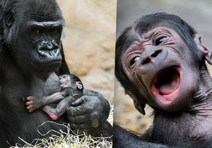 Mládě gorily Shindy je pořádný křikloun. Když má hlad nebo je jinak nespokojené, dá to mámě důrazně znát.
