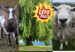 Ovce a kozy se budou starat o zeleň na koupališti Lhotka.