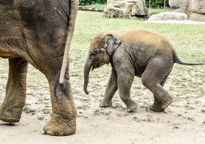První pražské slůně Max oslaví narozeniny: Zoo Praha chystá party