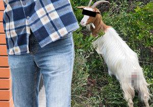 Slovák ve své kůlně údajně znásilňuje kozu. Ta zděšením mečí na celou vesnici.