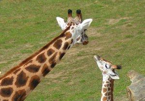 Na křtiny přišly do zoo tisíce lidí. Zájem o zjištění jmen žirafy a hrabáče byl obrovský.