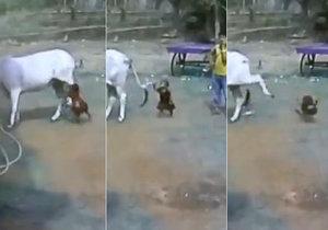 Brutální záběry: Kráva nakopla malého chlapce, který ji provokoval