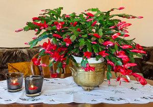 Rozkvetlý vánoční kaktus skvěle doplní sváteční aranžmá.
