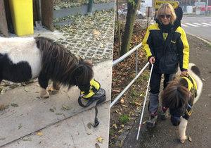 Minikůň Katrijn je jediná v Česku, která může pomáhat nevidomým a handicapovaným lidem. Kromě jiného ale i muslimům, kteří by psy brali jako nečisté.
