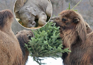 Zvířata dostala vánoční stromky jako dárek. Někteří je jedí, jiní si s nimi už jen hrají.