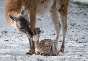 Praha má další důvod k radosti, narodilo se mládě lamy guanako.