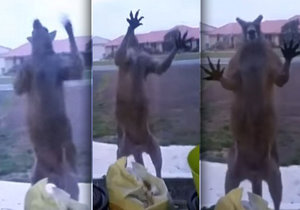 Australanku vyděsil zuřivý klokan, který se jí dobýval do domu.