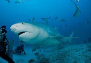 Potápěče kousl žralok do břicha. Sám doplaval k lodi a 8 hodin čekal na lékaře
