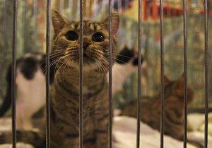 Výstava koček z útulku: Většinou opouštějí rodiny kvůli nemoci a narozeným dětem