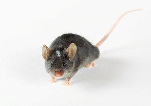 Vědcům se poprvé podařilo vytvořit umělá myší embrya.