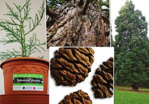 Obrovského sekvojovce můžete mít na zahradě i vy! Lesy Praha nabízejí tisíc sazenic.