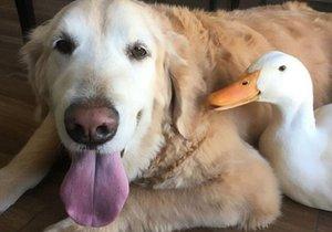 kachna a pes