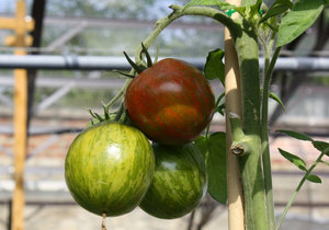 Vychytávky Ládi Hrušky: Opěrná konstrukce ke keříčkovým rajčatům
