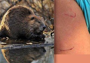 Švýcarsko se vypořádává s útoky agresivních bobrů.