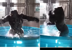 Opice akvabelou? Gorila rozpustile tančí v bazénku s vodou.