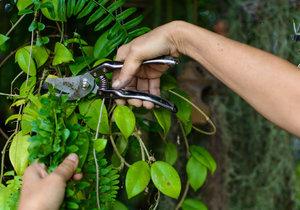 Jednoduchým zásahem lze upravit rychle rostoucí rostliny, jejichž výhonky zakrátko vyrostou do délky a rostlina ztratí tvar.