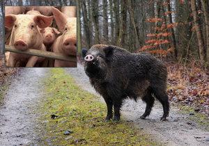 Prasečí mor ohrožuje česká zvířata