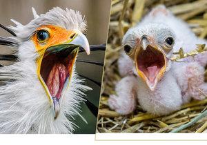 V pražské zoo se vylíhl lovec hadů: V dospělosti hadilov chytí i jedovaté plazy