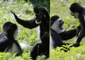 Exkluzivní fotky gueréz z pražské zoo: Tak máma krotí potomka!