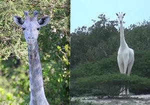 Teprve potřetí v historii lidé spatřili bílou žirafu – a hned páreček!