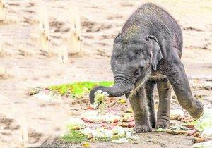 Zvířecí mejdan: Slůně Rudi v pražské zoo oslavilo 1. narozeniny