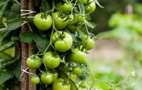 Zelená rajčata rozhodně nevyhazujte!