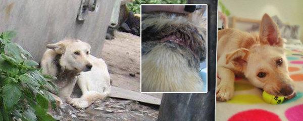 Psa uvázali jako štěně k domu: Provaz mu vrostl hluboko do krku!