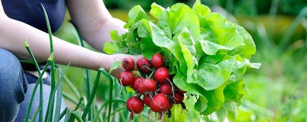 Co si ještě můžete vypěstovat do zimy? Zasaďte ředkvičky, salát, mrkev i špenát