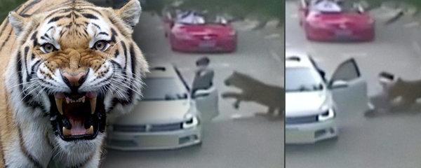 Tygři rozsápali ženu v safari! Zemřela při záchraně dcery, která vystoupila z auta