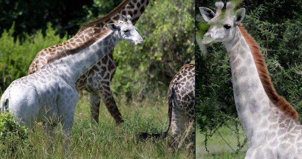Omo je nejspíš jediná žirafa svého druhu.