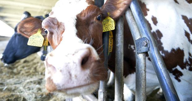 Živočicháři slaví: Po řečech o prdění krav Sněmovna kývla na zelenou naftu