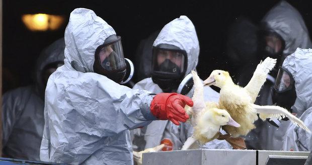 Rusové zarazili dovoz drůbeže a vajec ze čtyř krajů Česka. Kvůli ptačí chřipce