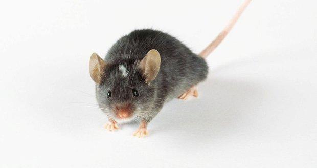 Vědci poprvé vdechli život myši. Odhalili klíč k záhadě stvoření?