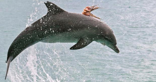 Chobotnice se svezla na delfínovi, který ji chtěl sežrat.