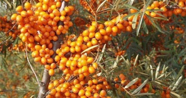 Rakytník je nejen krásný keř, ale také rostlina s mnoha léčivými účinky.