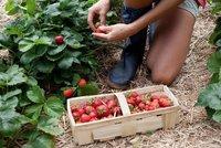 Vyra�te za sladk�m pochutn�n�m: Farm��i nab�z� levn� samosb�r jahod