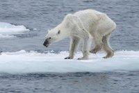 Nejsmutnější lední medvědice na světě: Vyhublá k smrti za sebou táhne zraněnou nohu