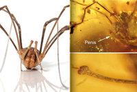 """Erekce na 99 milionů let?! Vědci našli pavoučka, kterému """"stojí"""" i po takové době"""