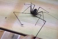 Pozor na pracky! D�siv� pavouk �to�� na �lov�ka klepety