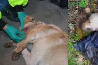 V Plané kdosi střelil psa do hlavy a v pytli ho zahodil v lese!