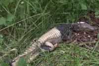 Ryb�� na�el u V�hu krokod�la, plaz byl u� mrtv�