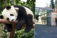 Pandy v pra�sk� zoo na spadnut�: Radn� posv�tili v�stavbu pand�ria