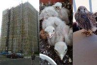 Rekonstrukce v Praze komplikuje ptactvo. Stavba�i �ekaj� na po�tolky i ror�se