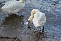Další případ ptačí chřipky v Praze: Labuť zemřela na Střeleckém ostrově