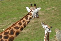 Zoo pok�tila ml�d� �irafy a hrab��e. Zn�me jejich jm�na