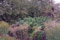 Marihuanov� d�ungle v Praze 15: �Rostliny p�stuje str�c,� uvedla majitelka domu