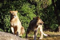 Dva lvi utekli z v�b�hu. Zoo v Lipsku musela jednoho z nich zast�elit
