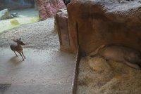 Hrabáč Draco má nové spolubydlící! Do výběhu se jim nastěhovaly zakrslé antilopy