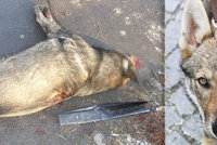 Neznámý muž zastřelil uprostřed města psa: Majitele připravil o mazlíčka za 30 tisíc
